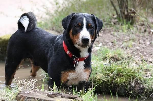 Собака-породы-аппенцеллер-Описание-особенности-уход-и-цена-4