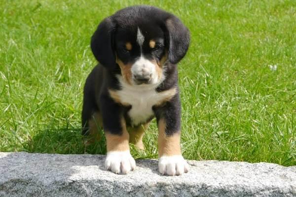 Собака-породы-аппенцеллер-Описание-особенности-уход-и-цена-7
