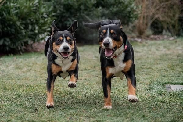 Собака-породы-аппенцеллер-Описание-особенности-уход-и-цена-8