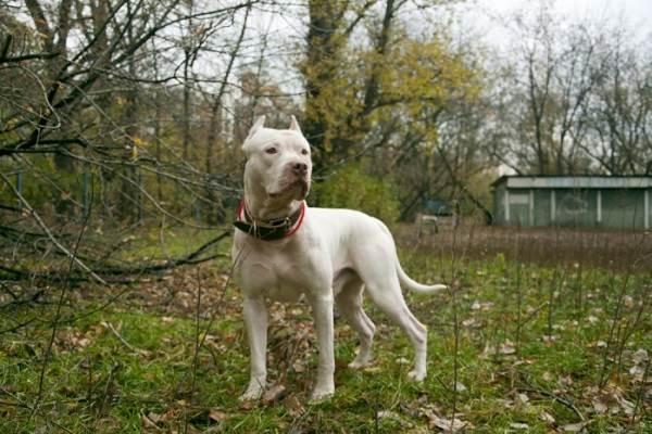 Собака-породы-аргентинский-дог-Описание-особенности-характер-уход-и-цена-15