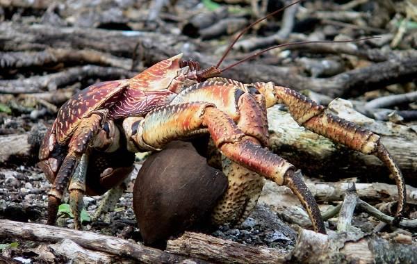 Виды-крабов-их-названия-описание-и-фото-3
