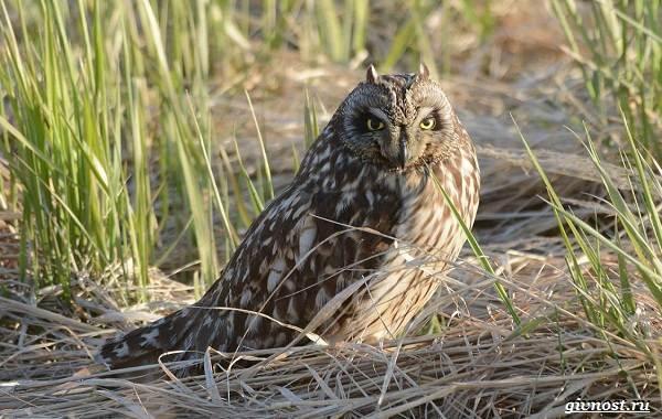 Виды-сов-описание-особенности-названия-и-фото-птиц-14