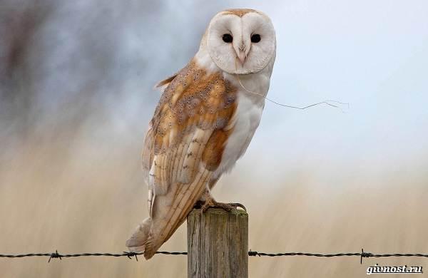 Виды-сов-описание-особенности-названия-и-фото-птиц-16
