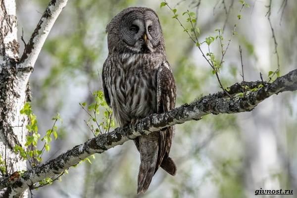 Виды-сов-описание-особенности-названия-и-фото-птиц-7