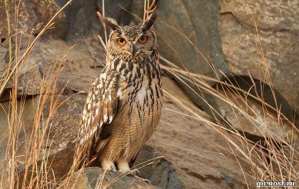 Виды-сов-описание-особенности-названия-и-фото-птиц-9
