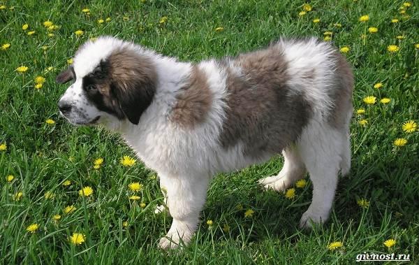 Московская-сторожевая-собака-Описание-особенности-уход-и-цена-породы-10