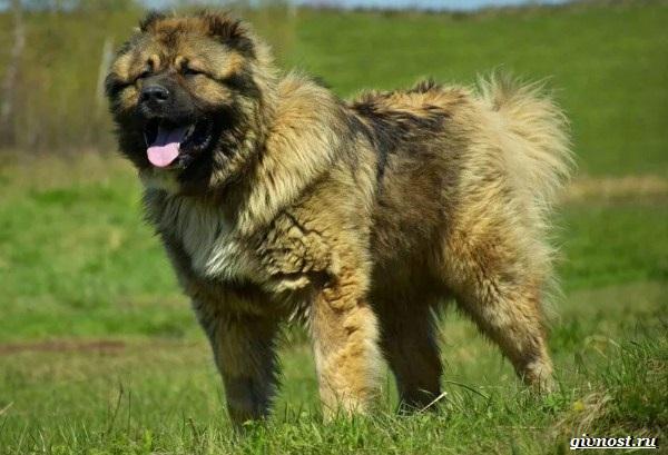 Московская-сторожевая-собака-Описание-особенности-уход-и-цена-породы-12