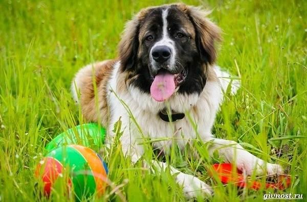 Московская-сторожевая-собака-Описание-особенности-уход-и-цена-породы-5
