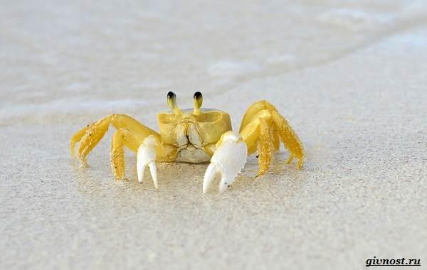 Радужный-краб-Описание-особенности-фото-образ-жизни-и-среда-обитания-10