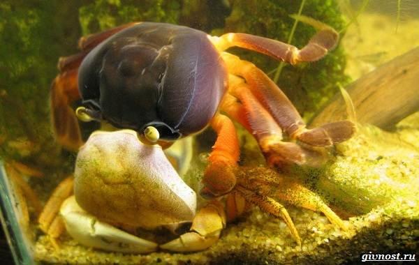 Радужный-краб-Описание-особенности-фото-образ-жизни-и-среда-обитания-3