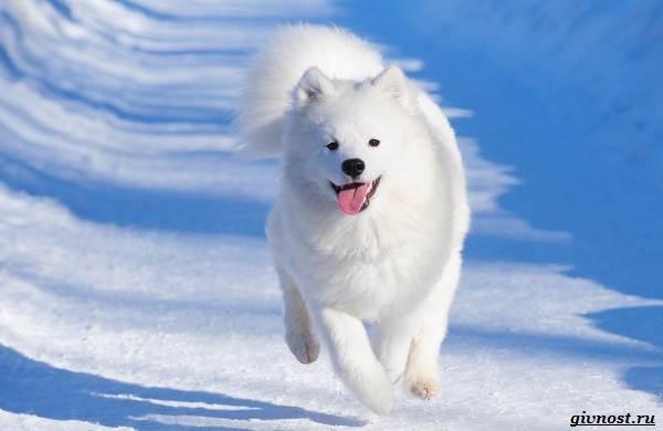 Самоедская-лайка-порода-собак-Описание-особенности-фото-уход-и-цена-1