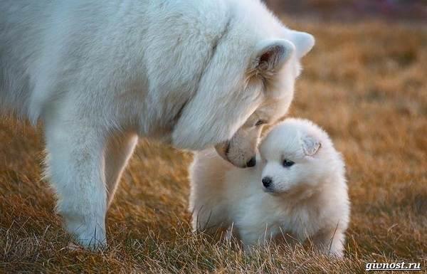 Самоедская-лайка-порода-собак-Описание-особенности-фото-уход-и-цена-10