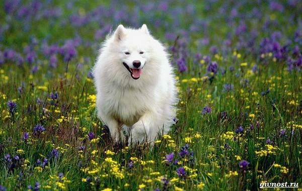 Самоедская-лайка-порода-собак-Описание-особенности-фото-уход-и-цена-2-1