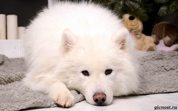 Самоедская-лайка-порода-собак-Описание-особенности-фото-уход-и-цена-3