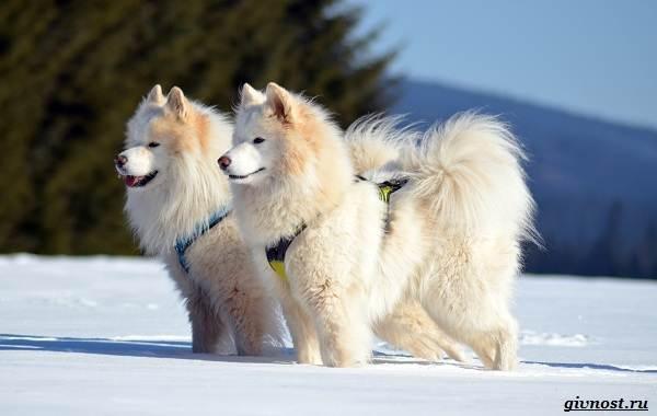 Самоедская-лайка-порода-собак-Описание-особенности-фото-уход-и-цена-4