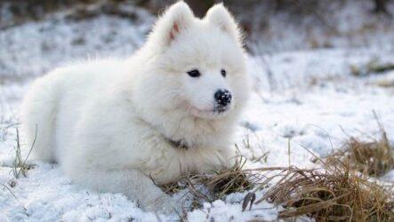 Самоедская лайка порода собак. Описание, особенности, фото, уход и цена