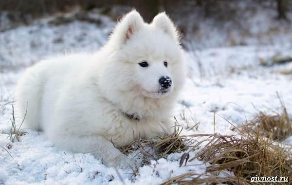 Самоедская-лайка-порода-собак-Описание-особенности-фото-уход-и-цена-6