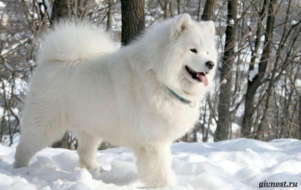 Самоедская-лайка-порода-собак-Описание-особенности-фото-уход-и-цена-7