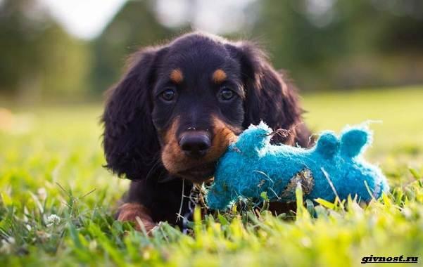 Сеттер-гордон-собака-Описание-особенности-уход-и-цена-породы-11