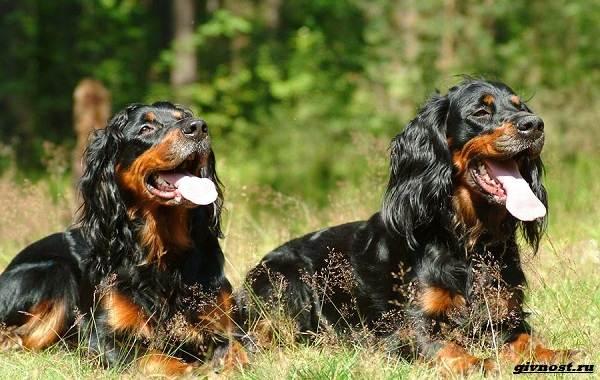 Сеттер-гордон-собака-Описание-особенности-уход-и-цена-породы-13