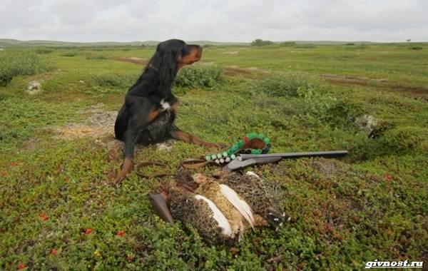 Сеттер-гордон-собака-Описание-особенности-уход-и-цена-породы-2