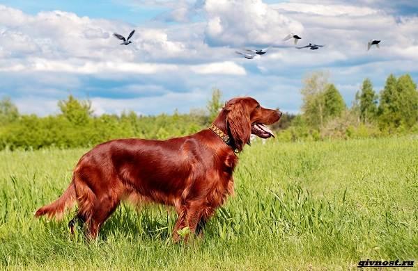 Сеттер-гордон-собака-Описание-особенности-уход-и-цена-породы-6