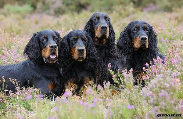 Сеттер-гордон-собака-Описание-особенности-уход-и-цена-породы-8