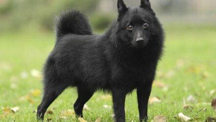 Шипперке порода собак. Описание, особенности, фото, уход и цена