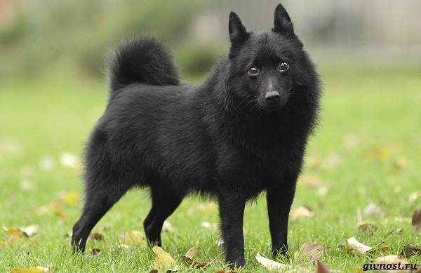 Шипперке-порода-собак-Описание-особенности-фото-уход-и-цена-1