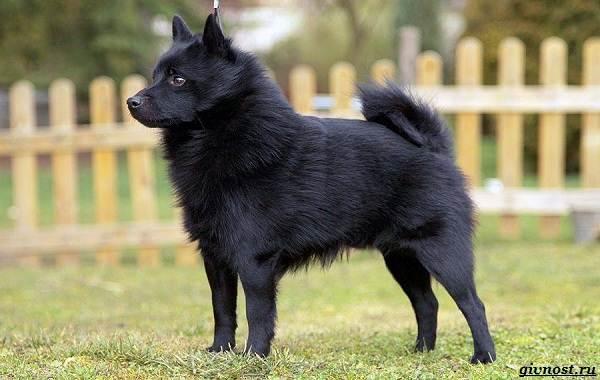 Шипперке-порода-собак-Описание-особенности-фото-уход-и-цена-2