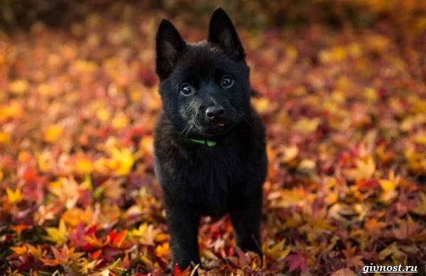 Шипперке-порода-собак-Описание-особенности-фото-уход-и-цена-4