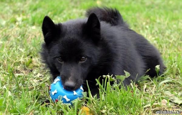 Шипперке-порода-собак-Описание-особенности-фото-уход-и-цена-5