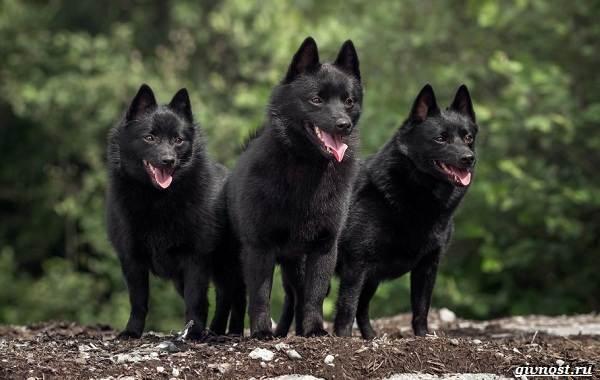 Шипперке-порода-собак-Описание-особенности-фото-уход-и-цена-6