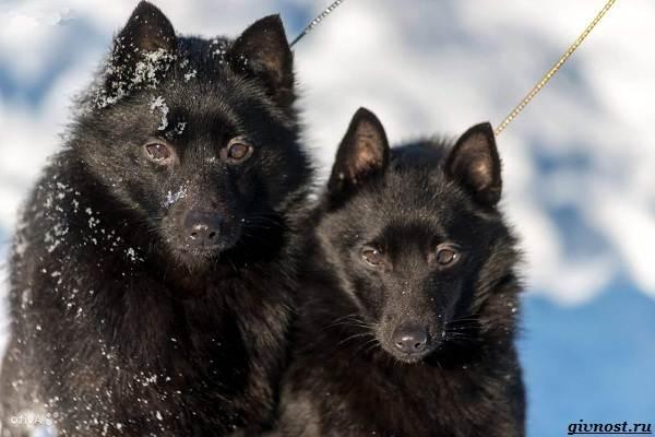 Шипперке-порода-собак-Описание-особенности-фото-уход-и-цена-7