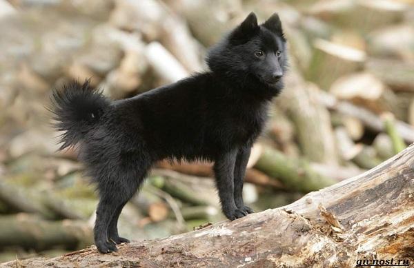 Шипперке-порода-собак-Описание-особенности-фото-уход-и-цена-8
