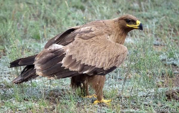 Виды-орлов-их-особенности-названия-образ-жизни-и-фото-птиц-10