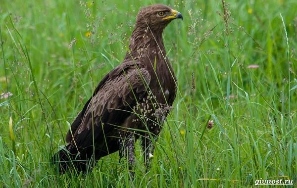 Виды-орлов-их-особенности-названия-образ-жизни-и-фото-птиц-13