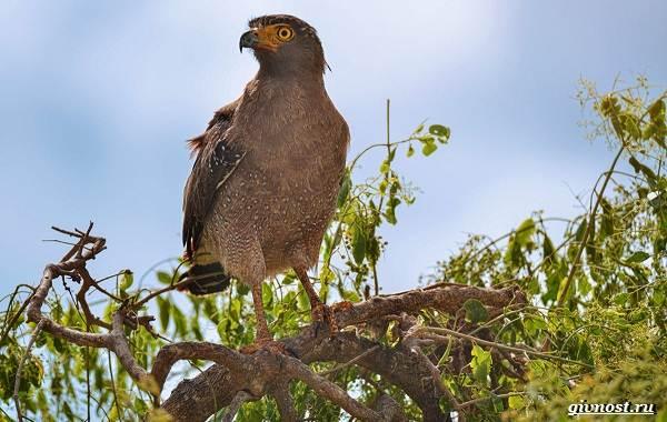 Виды-орлов-их-особенности-названия-образ-жизни-и-фото-птиц-14