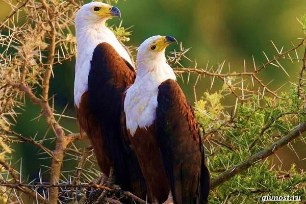 Виды-орлов-их-особенности-названия-образ-жизни-и-фото-птиц-16