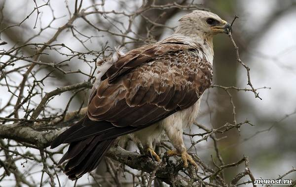 Виды-орлов-их-особенности-названия-образ-жизни-и-фото-птиц-17