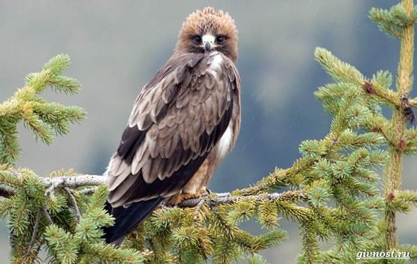 Виды-орлов-их-особенности-названия-образ-жизни-и-фото-птиц-19