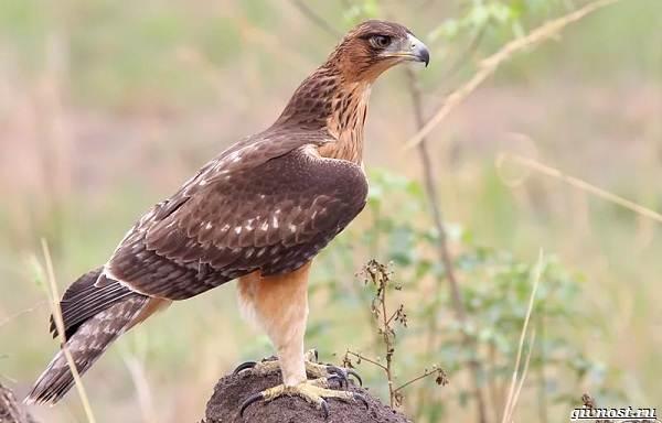 Виды-орлов-их-особенности-названия-образ-жизни-и-фото-птиц-2