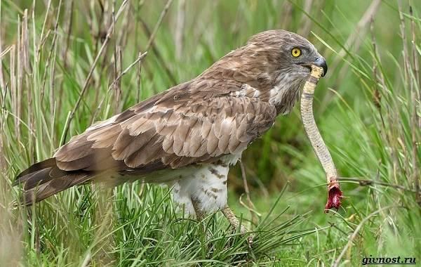 Виды-орлов-их-особенности-названия-образ-жизни-и-фото-птиц-20