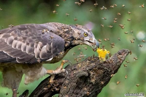 Виды-орлов-их-особенности-названия-образ-жизни-и-фото-птиц-21