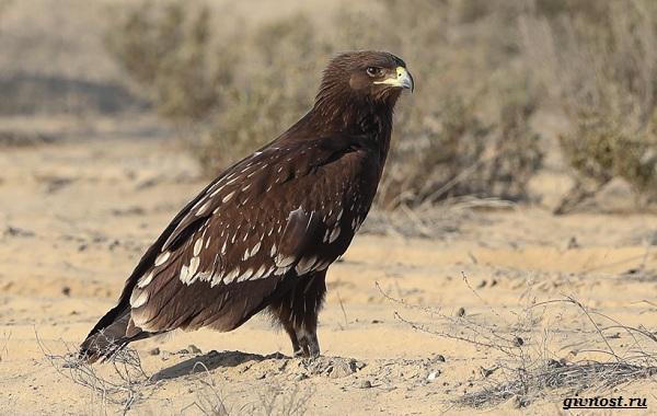 Виды-орлов-их-особенности-названия-образ-жизни-и-фото-птиц-25