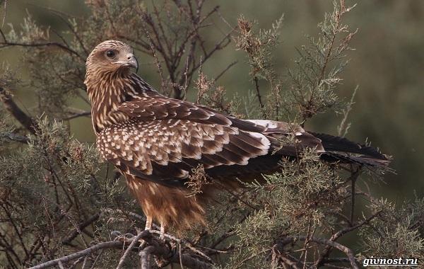 Виды-орлов-их-особенности-названия-образ-жизни-и-фото-птиц-26