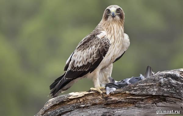 Виды-орлов-их-особенности-названия-образ-жизни-и-фото-птиц-3