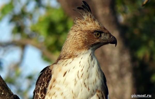 Виды-орлов-их-особенности-названия-образ-жизни-и-фото-птиц-4