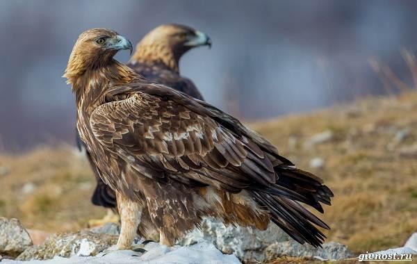 Виды-орлов-их-особенности-названия-образ-жизни-и-фото-птиц-5