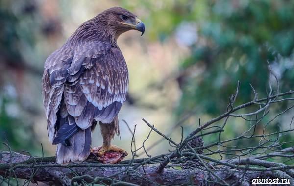 Виды-орлов-их-особенности-названия-образ-жизни-и-фото-птиц-6